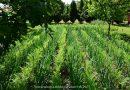 Minden napra 2 kert – A legszebbek közül Magánkertesként vett részt Magyarkanizsa BÖDŐ KÁLMÁN
